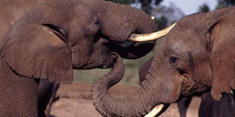 two elephants in profile facing each other with tusks