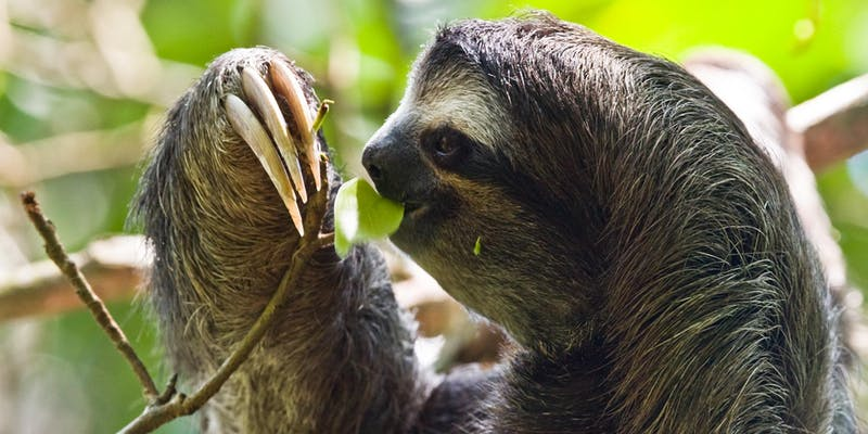 sloth using long nails to put leaf in mouth